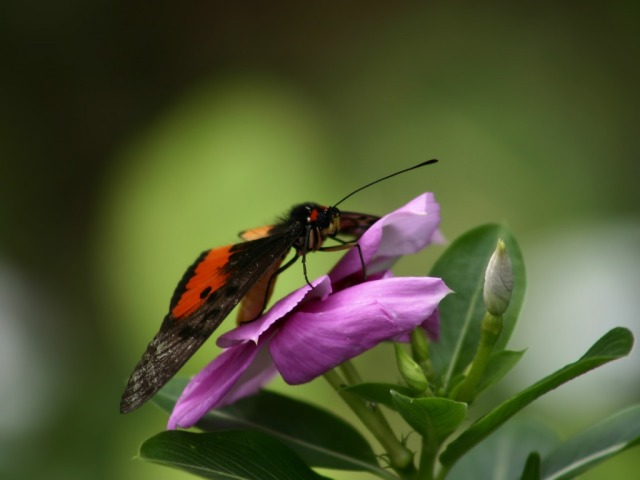 butterfly_on_blue_flower_wallpaper_flowers_nature_wallpaper_1024_768_1531