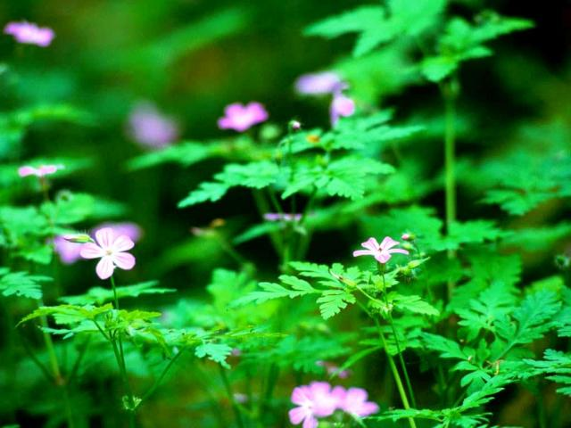Free-Desktop-Backgrounds-Nature-Flowers-Plants